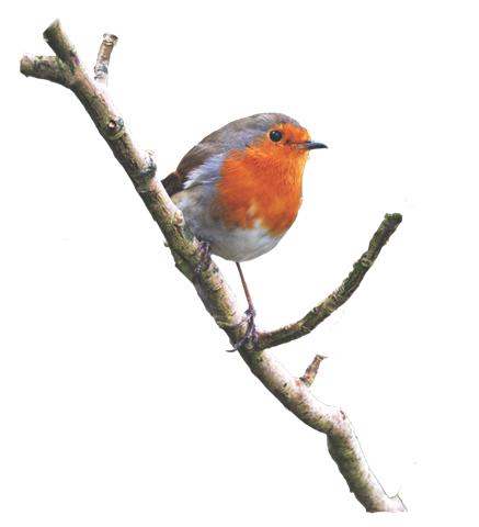 Rouge gorge sur branche sticker robin on a branch